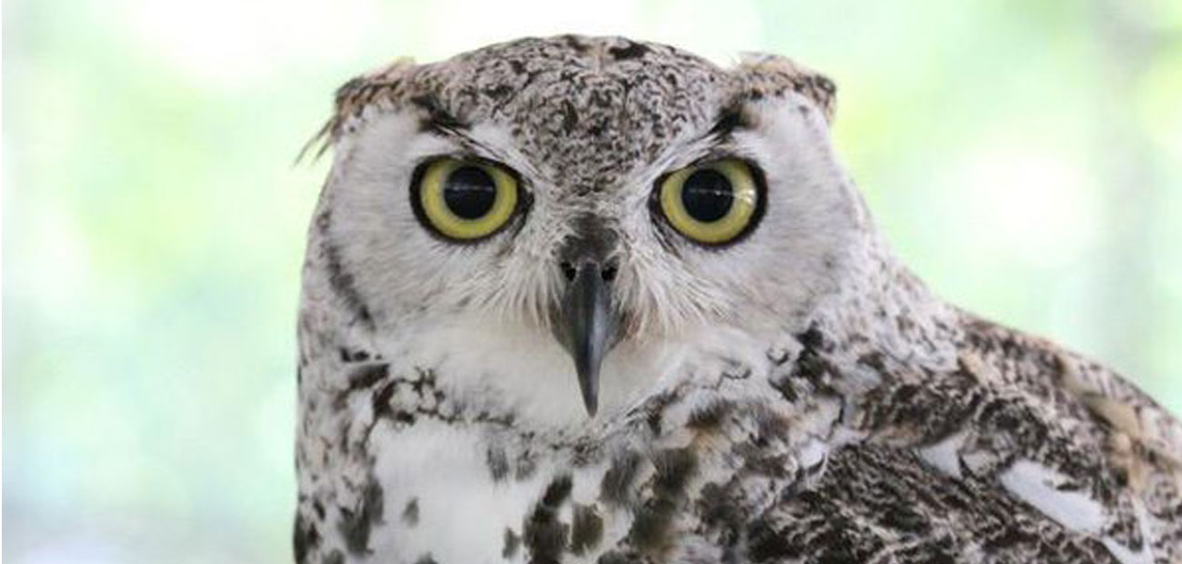 sub-arctic great horned owl